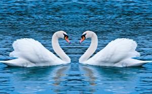 swan love-wide